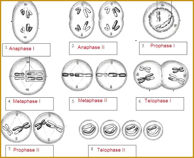 Meiosis name the phases worksheet 555680