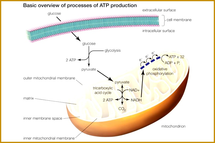 The three processes of ATP production or celluar respiration include glycolysis the tricarboxylic acid cycle and oxidative phosphorylation 476714