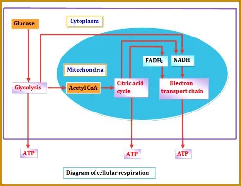Cellular respiration 382494