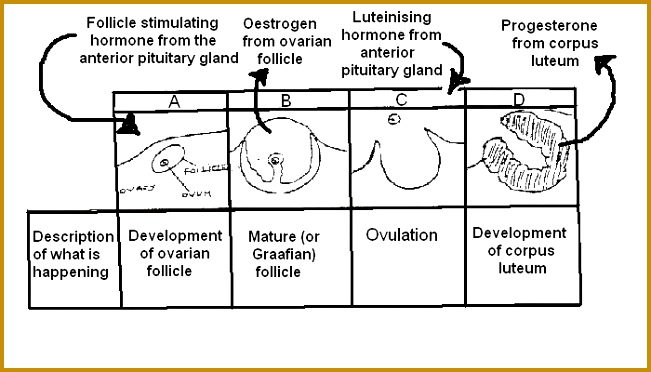 Stages of ovarian cycle labelled for worksheet JPG 372651