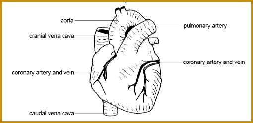 label heart diagram worksheet CJ Shuster Lab Addenum Coronary Arteries 248510