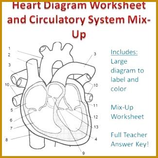 Cardiovascular Worksheet 325325