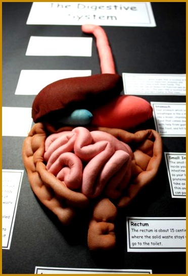 A 3D model of the Digestive System 547372