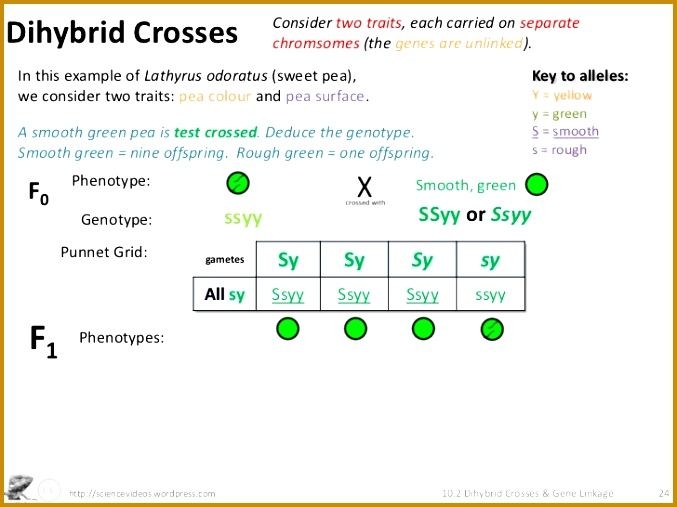 5 Dihybrid Cross Worksheet Fabtemplatez