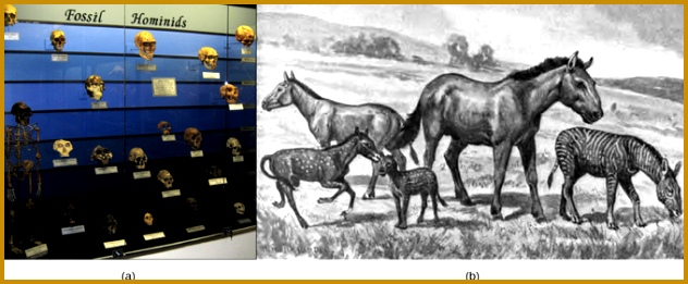 Evolution of Humans and Horses a In this display fossil hominids are arranged from oldest bottom to newest top As hominids evolved the shape of 632261