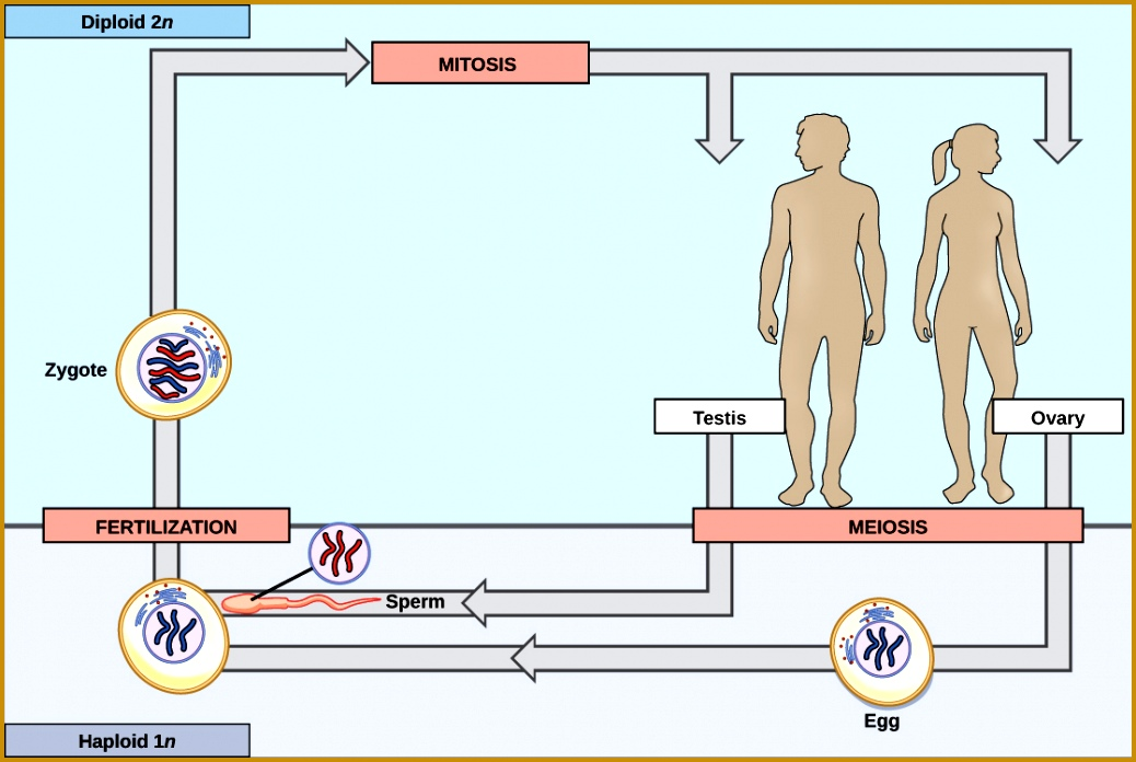 Example of a diploid dominant life cycle the human life cycle In a mature human 2n eggs are produced by meiosis in the ovary of a woman 6961038