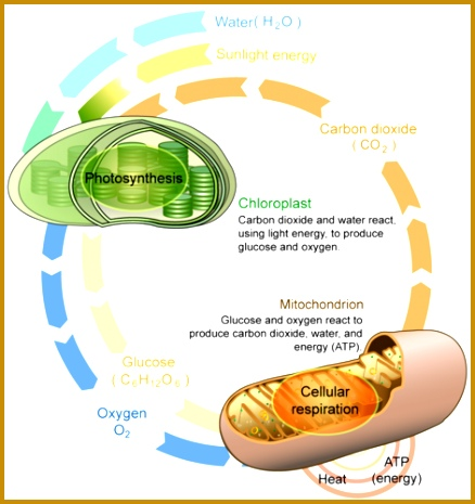 Cellular respiration and photosynthesis are direct opposite reactions 465438