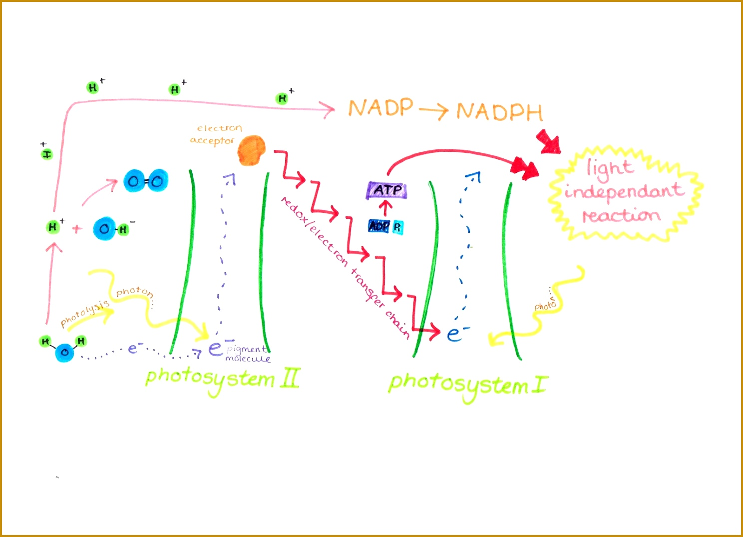 The Light Dependent Reaction the first stage of photosynthesis 10751488