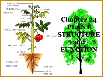 Chapter 24 PLANT STRUCTURE and FUNCTION 314418