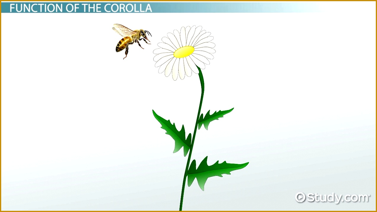 Corolla of a Flower Structure Function & Definition Video & Lesson Transcript 7141270