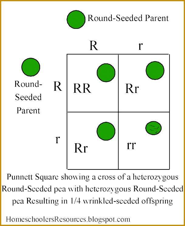 punnett squares 2x2 wrinkled peas image 744609
