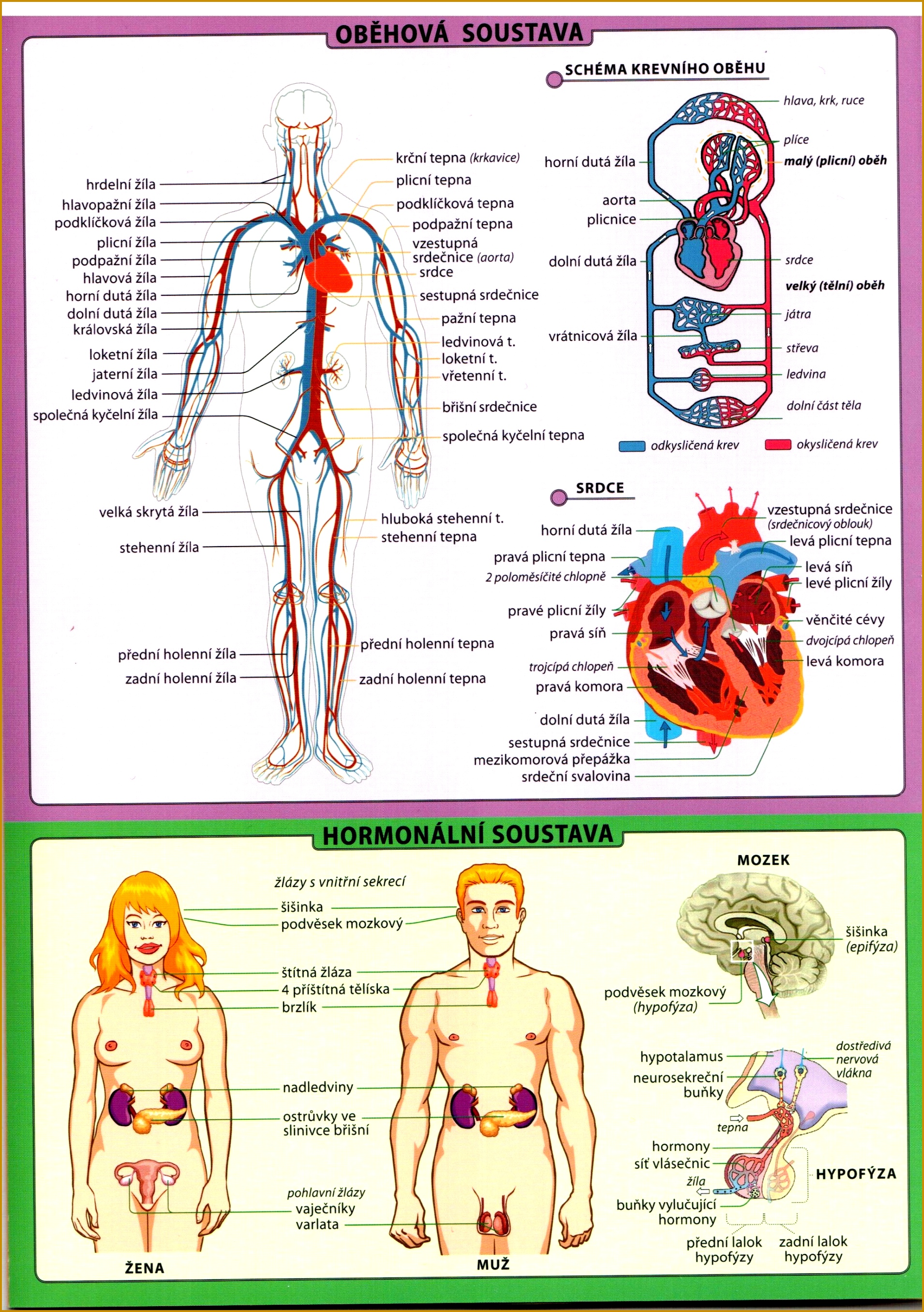 Famous Language Of Anatomy Photos - Anatomy and Physiology Tissue ...