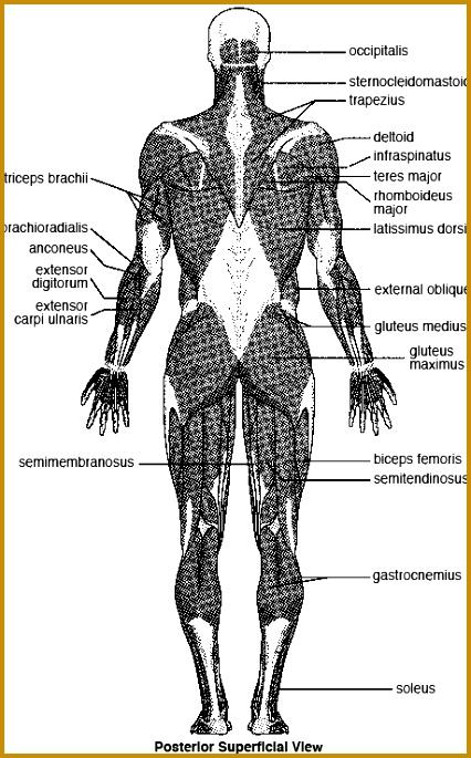 3 the Language Of Anatomy Worksheet   FabTemplatez
