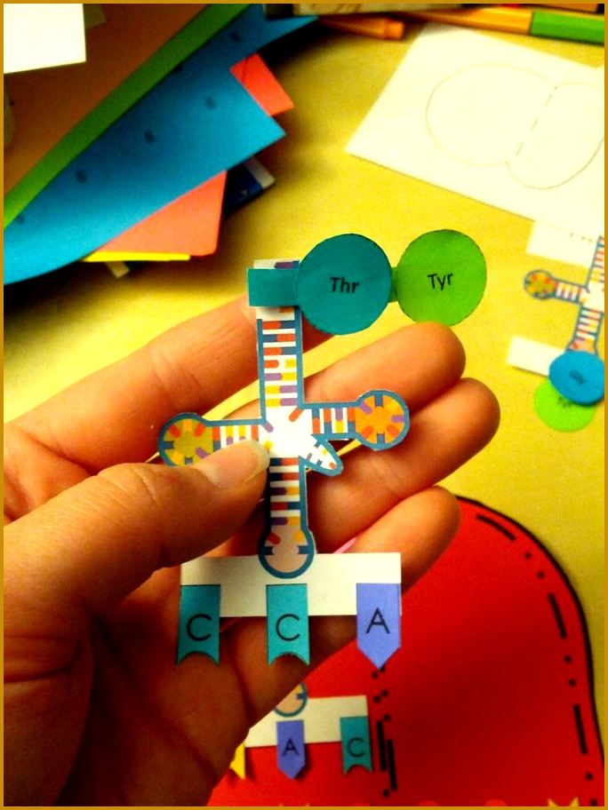 Protein synthesis paper model activity 912684