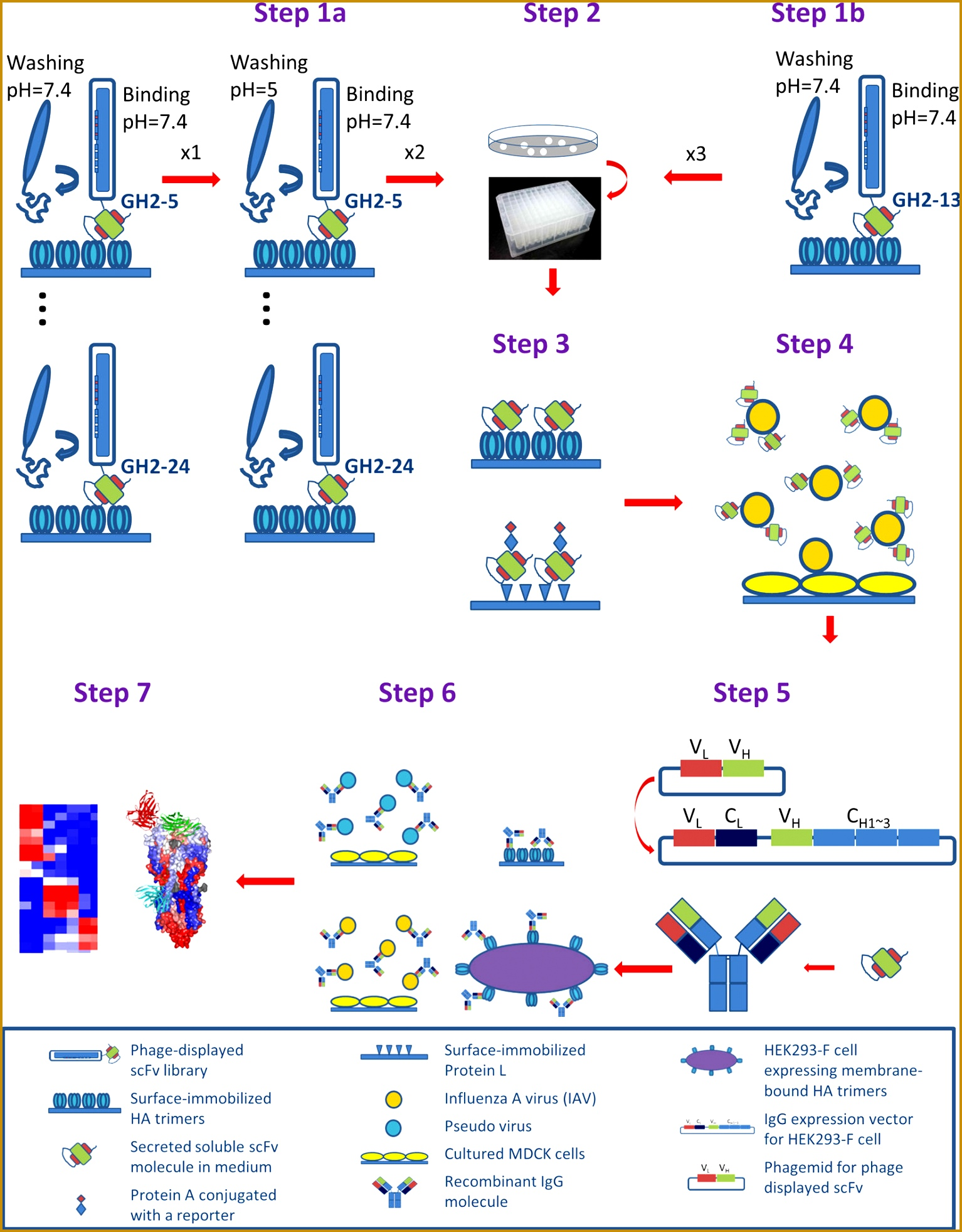 High throughput discovery of influenza virus neutralizing antibo s from phage displayed synthetic antibody libraries 19641534