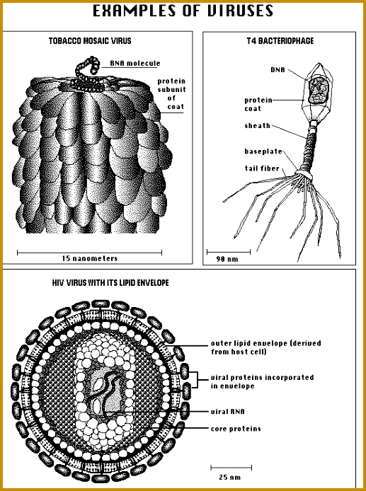 Structure of a variety of viruses Image from of virusesml 694517