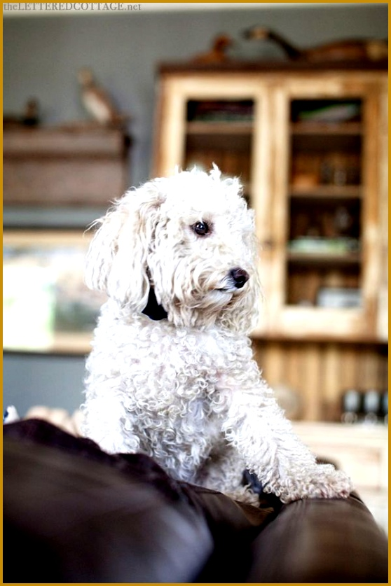 White Toy Poodle Dog 837558