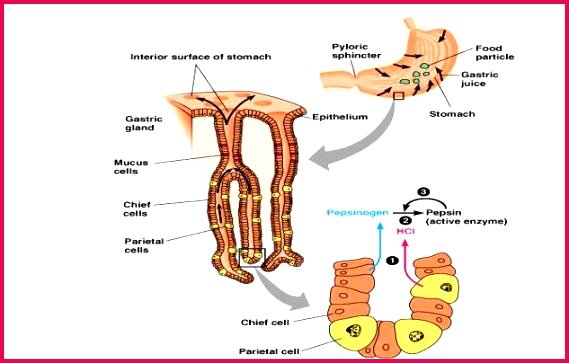 d Mucus Forms a protective barrier to the stomach wall against corrosion by the HC1 Mucus is secreted by goblet cells in the epithelial membrane of the