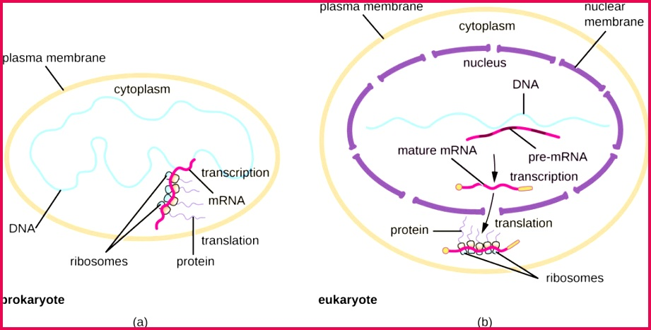 a Diagram of prokaryotic cell with a plasma membrane on the outside The DNA