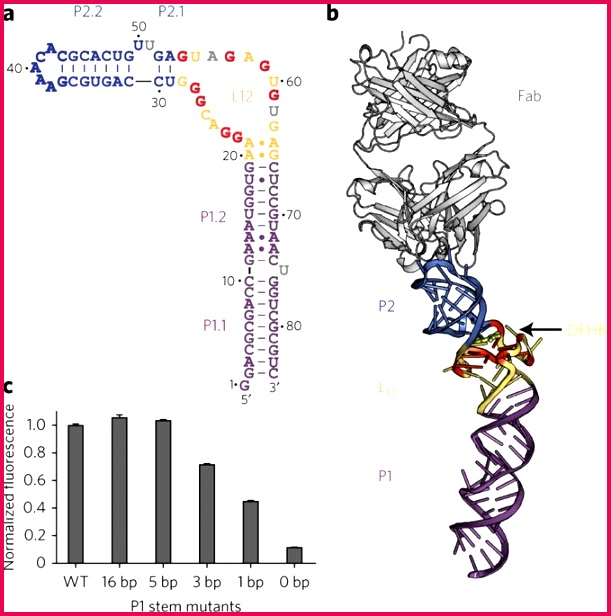 a Observed secondary structure of Spinach construct containing G37AAACAC43 antigenic tag bold blue letters The L12 region in brown and yellow