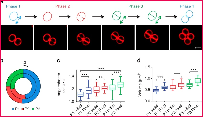 Cell shape dynamics during the staphylococcal cell cycle