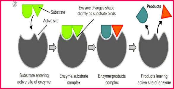 The enzyme is free to bind with another substrate molecule The enzymes can be used again and again